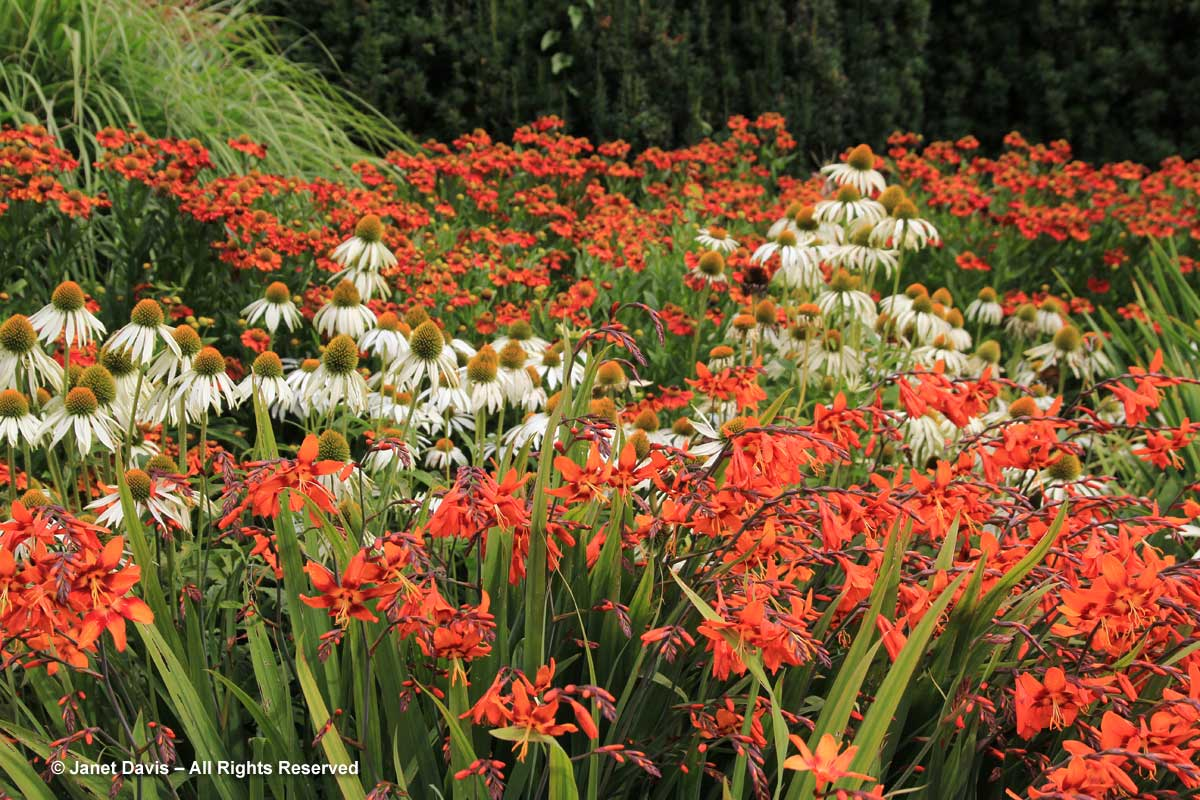 1-van-dusen-crocosmia-echinacea-helenium