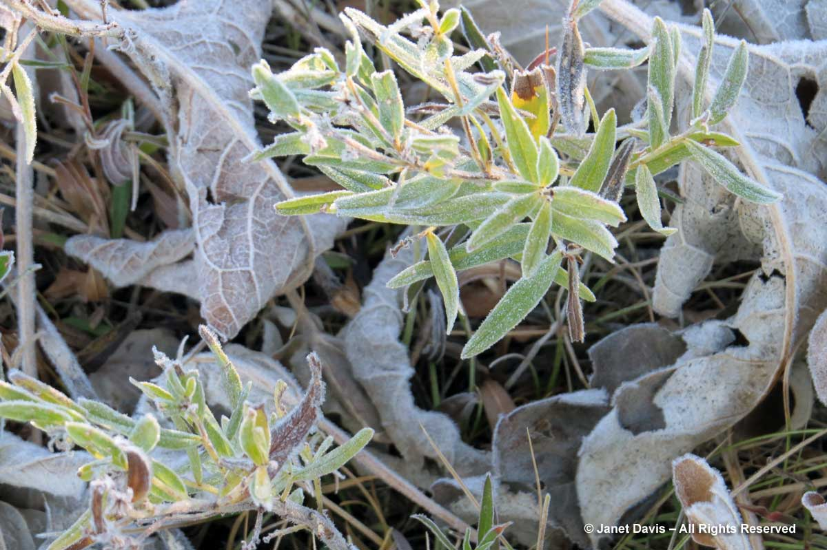 10-frost-on-lupines
