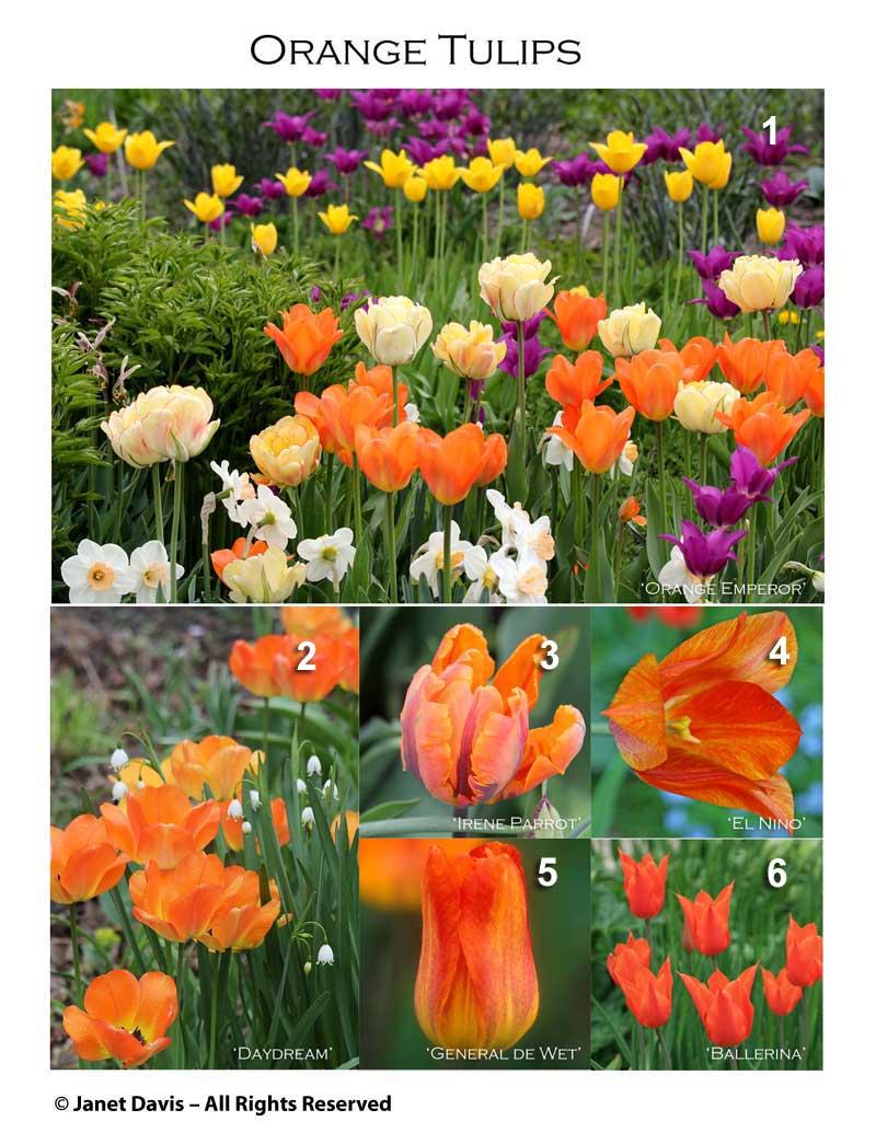 1a-orange-tulips