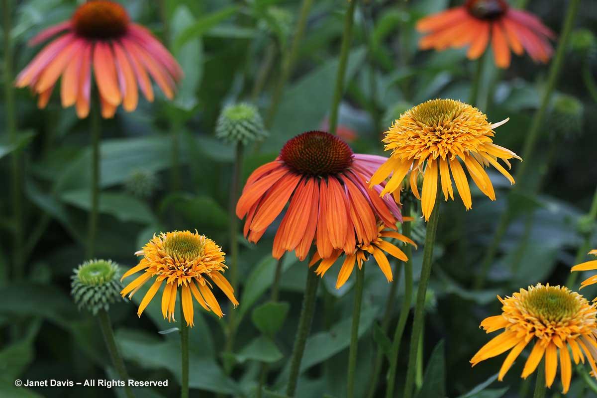 2-echinacea-tangerine-dream-secret-glow