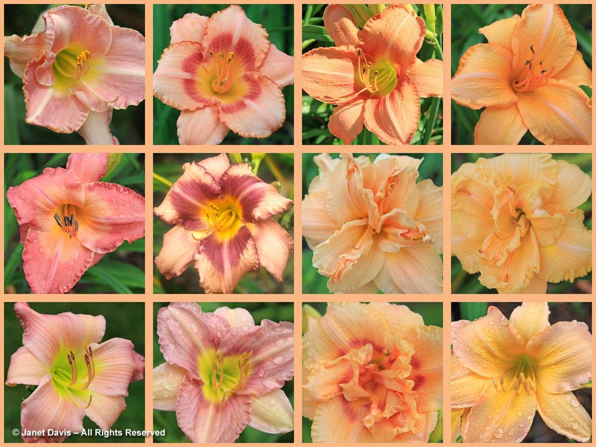 2-hemerocallis-array-peach-apricot