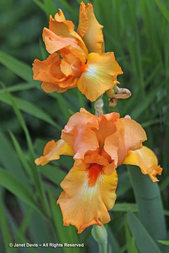 2-iris-x-germanica-orange-impact