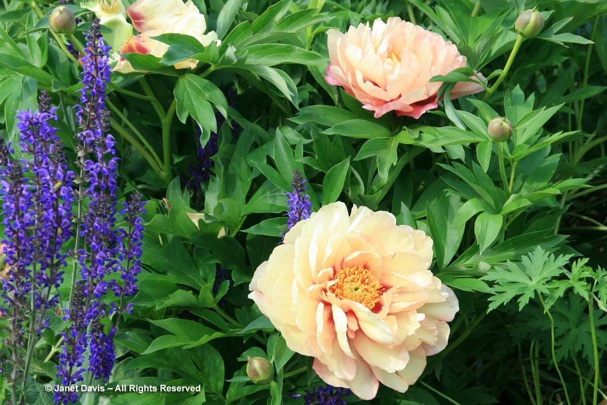 2-paeonia-kopper-kettle-salvia-may-night