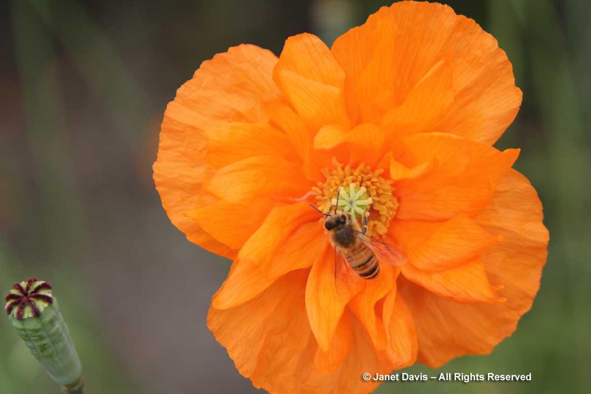 2-papaver-atlanticum-flore