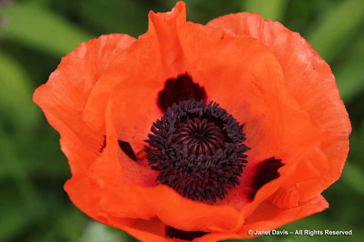 2-papaver-orientale-prince-of-orange