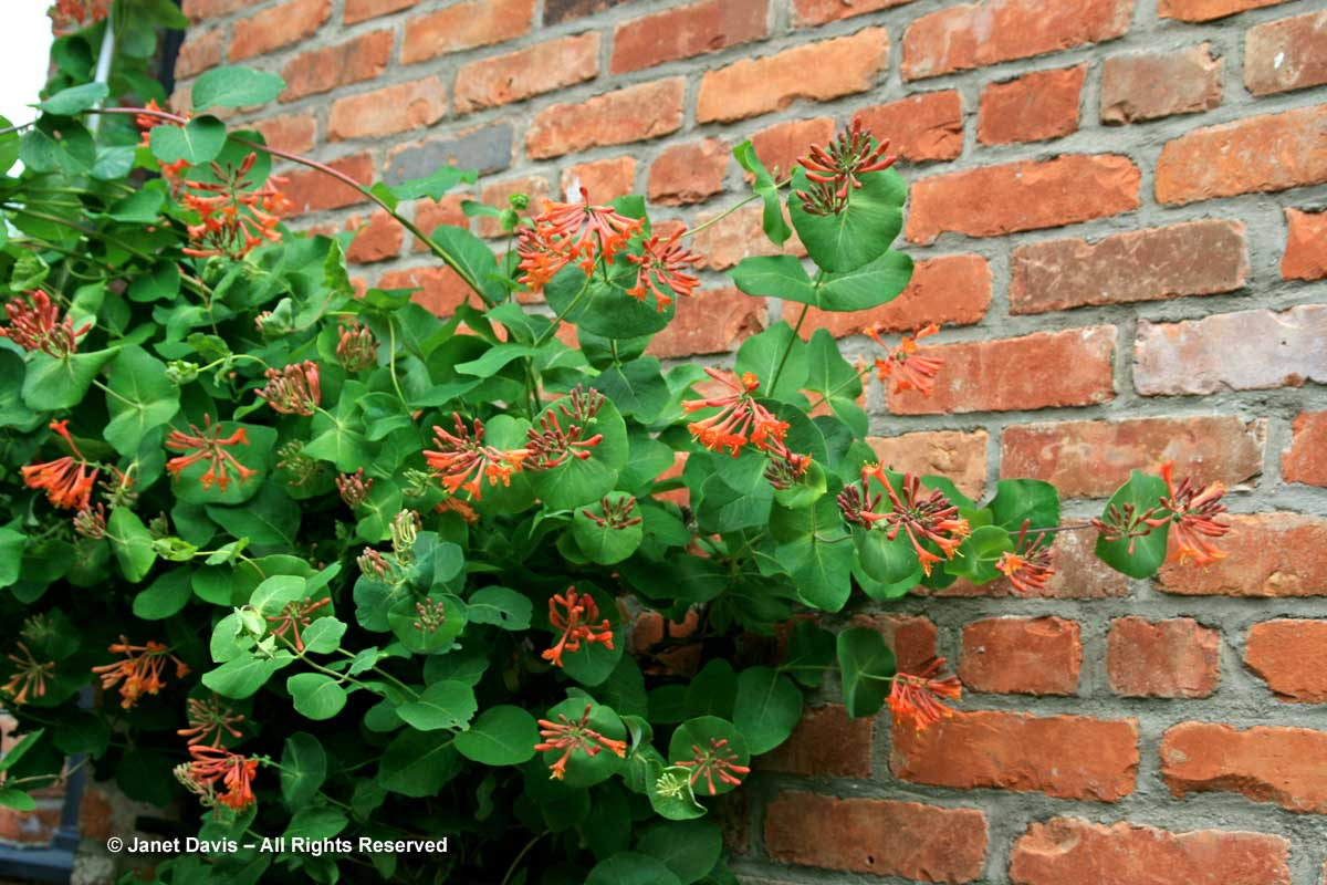 4-lonicera-x-brownii-dropmore-scarlet-on-brick-wall