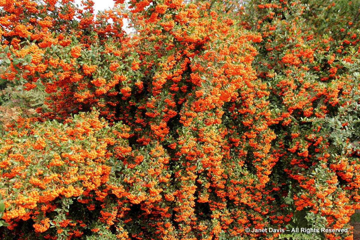 4-pyracantha-coccinea-orange-glow