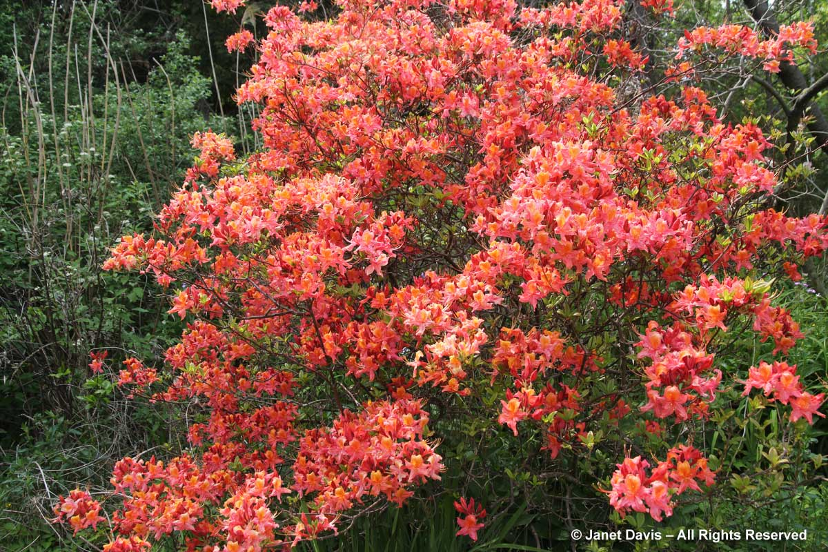 4-rhododendron-spicy-lights