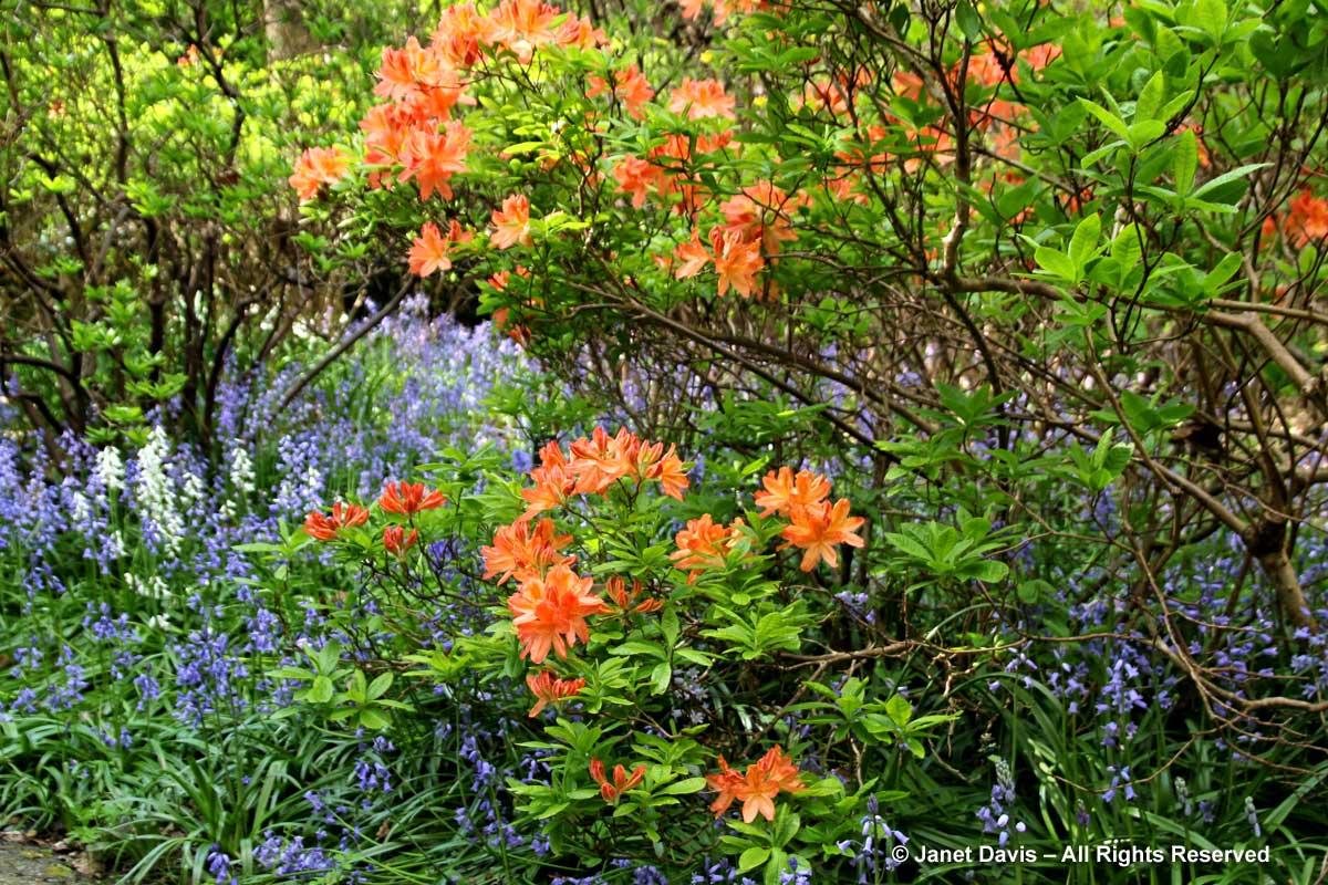 4-rhododendron-molle-endymion-hispanicus-van-dusen-gardens