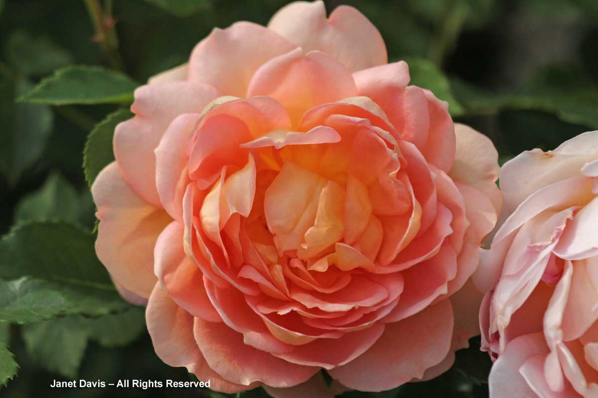4-rosa-lady-of-shalott