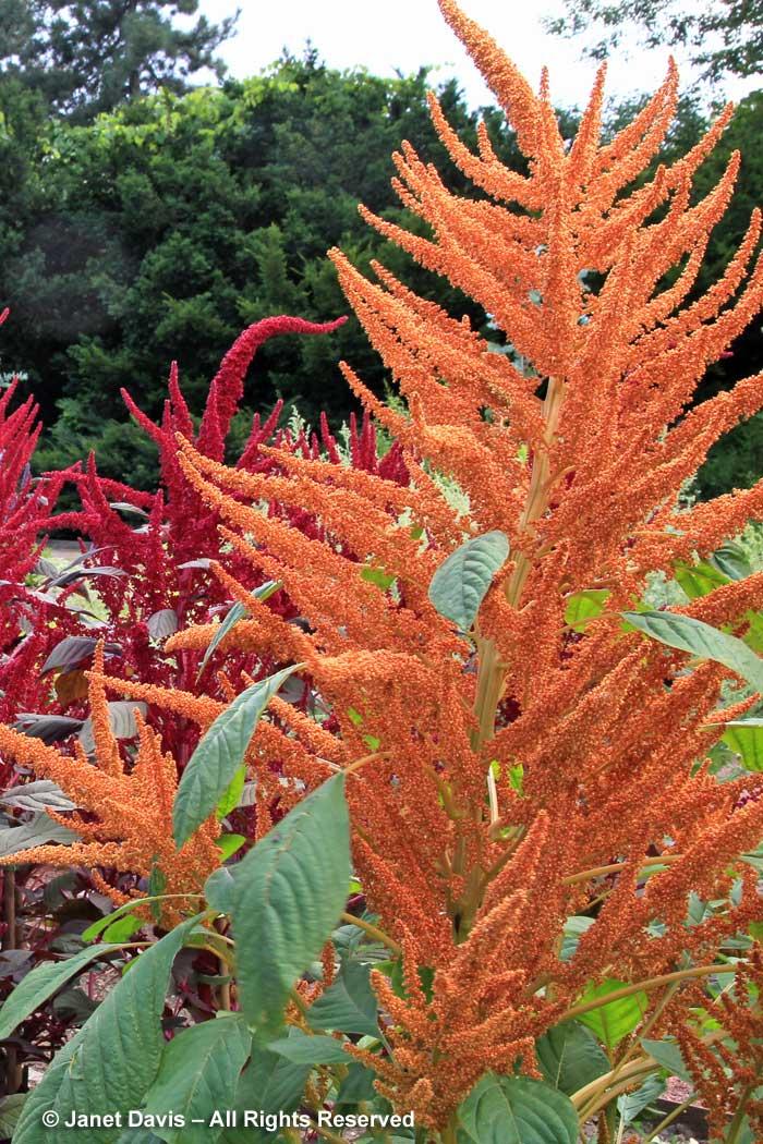 6-amaranthus-hypochondriacus-golden-giant