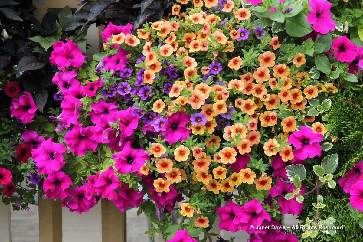 6-calibrachoa-peach-and-magenta