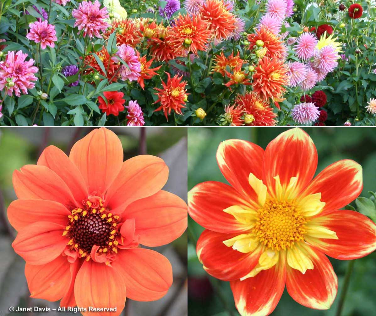 6-dahlia-array-orange-flowers