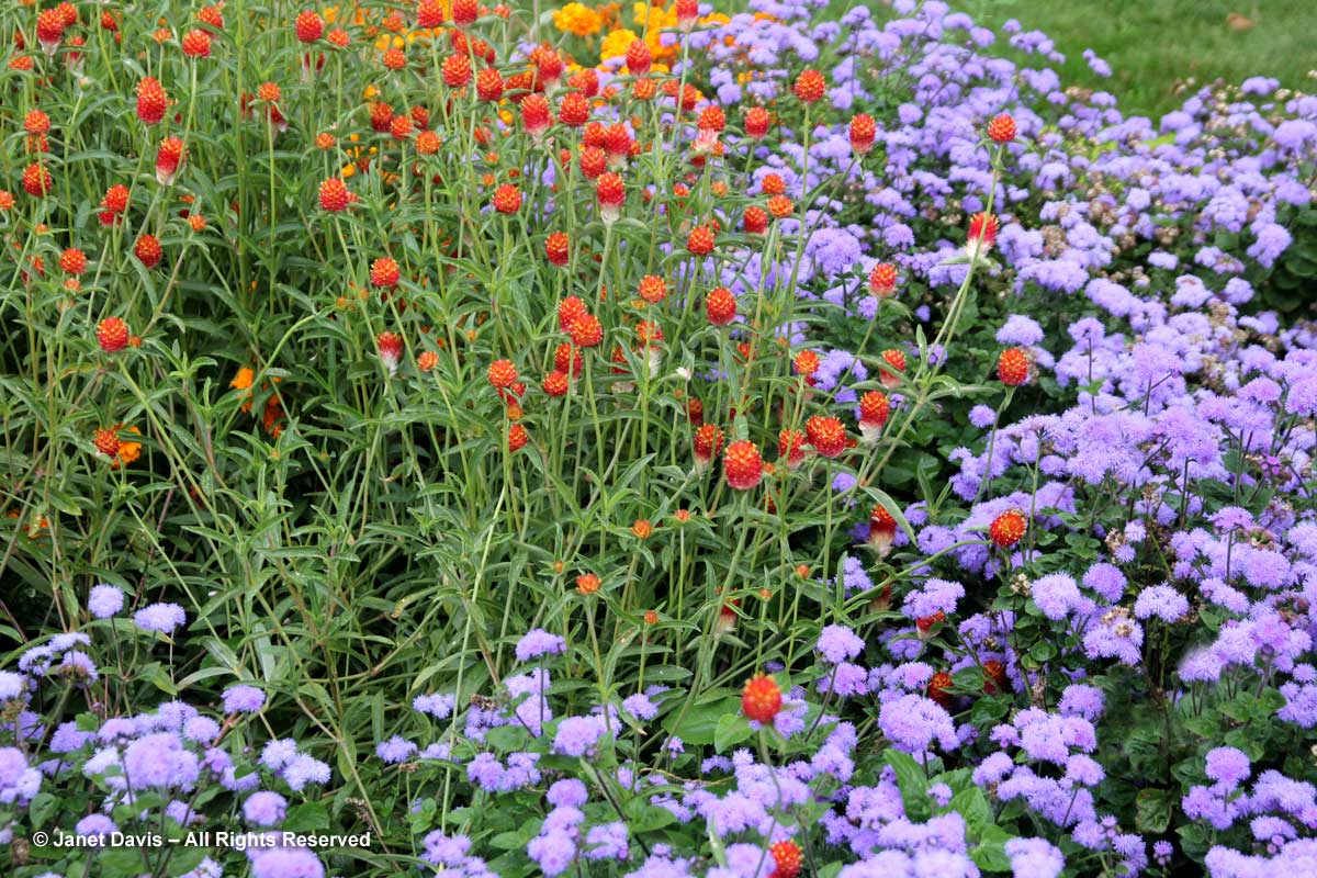 6-gomphrena-qis-orange-ageratum