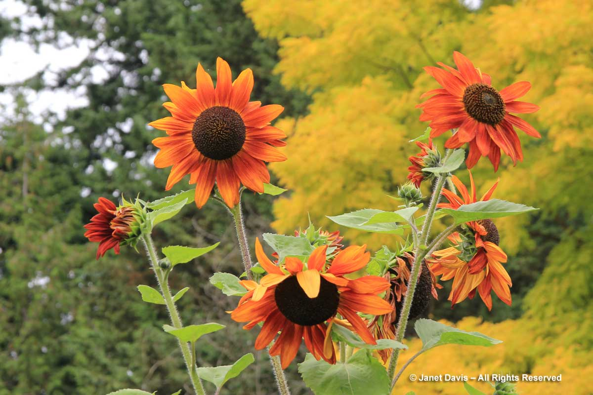 6-helianthus-annuus-orange-flowers