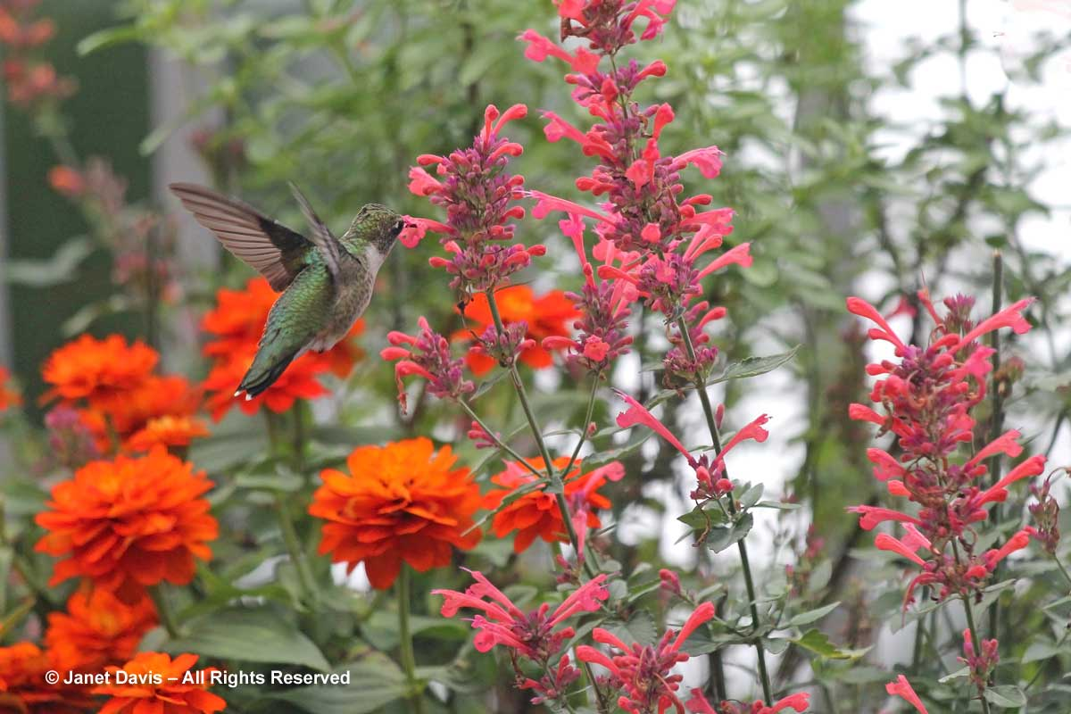 6-hummingbird-on-agastache-kudos-coral