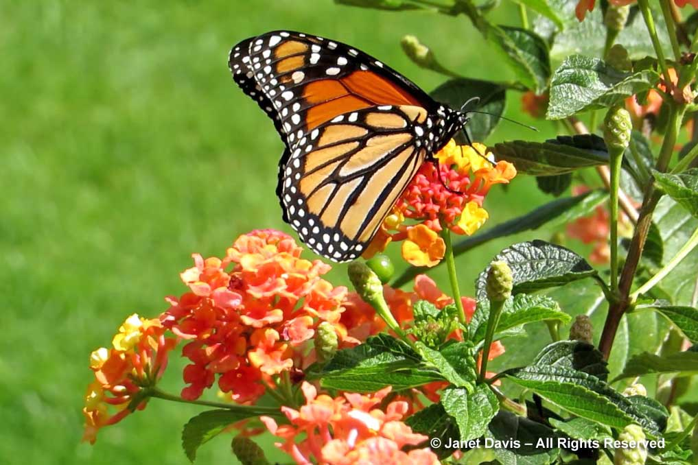 6-lantana-monarch-butterfly