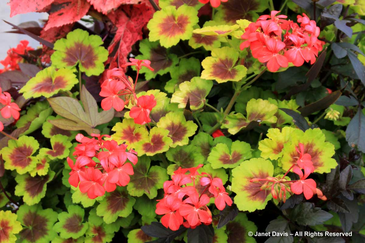6-pelargonium-indian-dunes