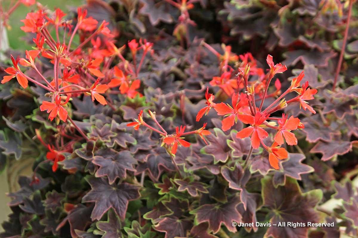 6-pelargonium-vancouver-cent