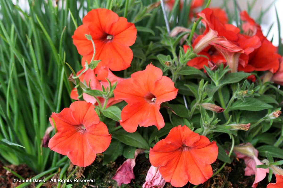 6-petunia-sun-spun-orange