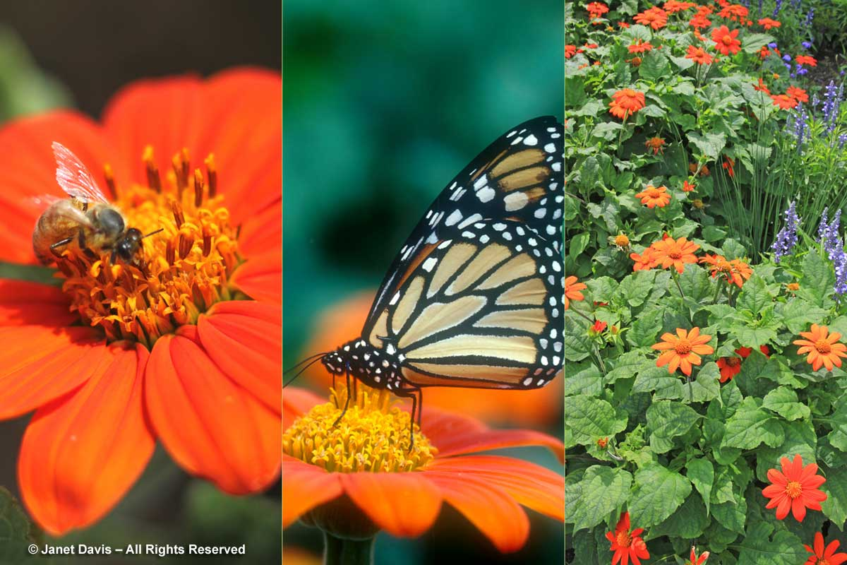 6-tithonia-rotundifolia-mexican-sunflower