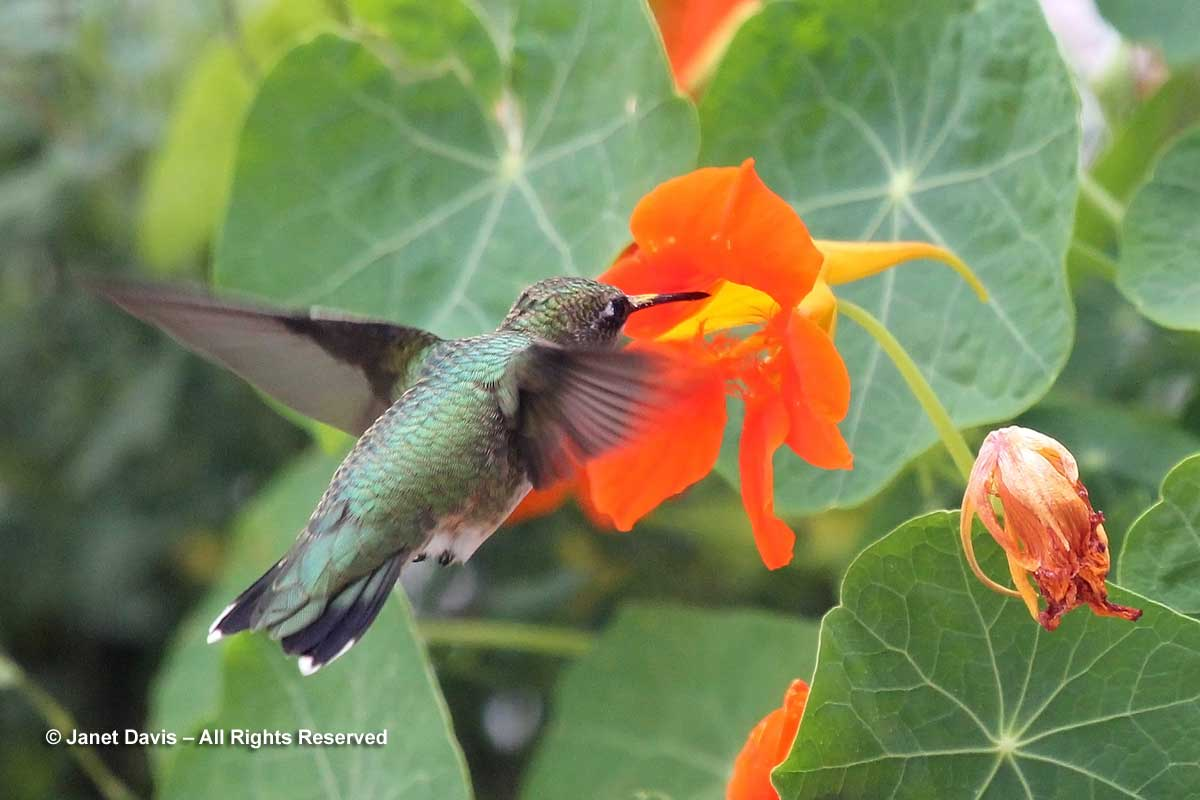 6-tropaeolum-majus-with-hummingbird