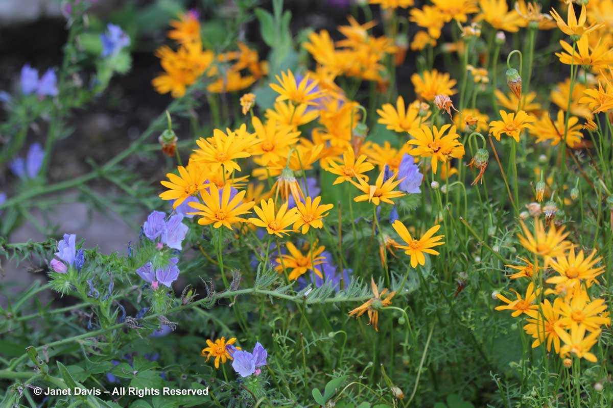 6-ursinia-anthemoides-solar-fire-echium-blue-bedder