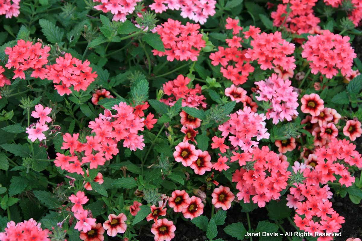 6-verbena-superbena-coral-calibrachoa-superbells-coral-punch