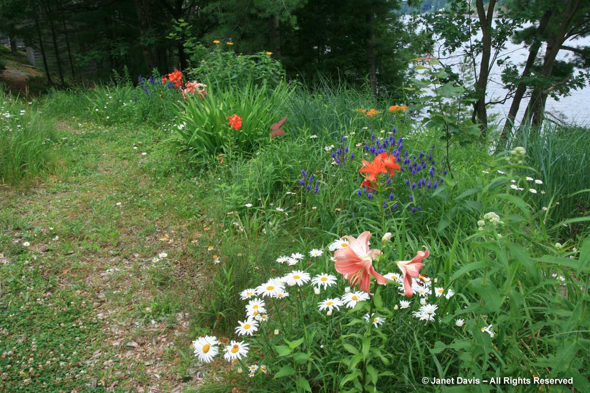 lilies-along-path