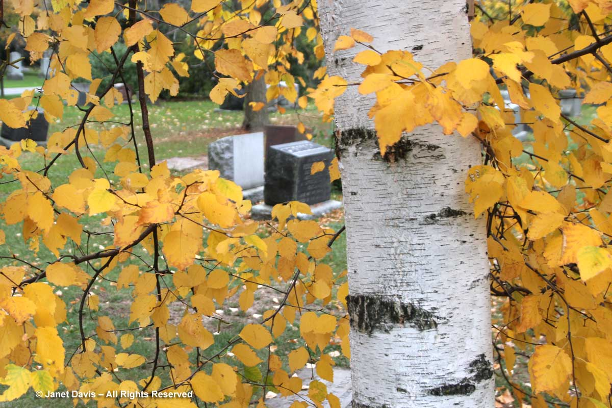 paper-birch-mount-pleasant-cemetery