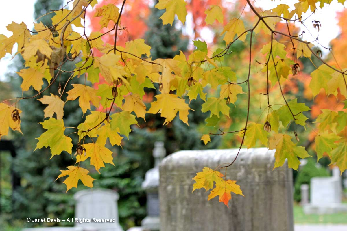silver-maple-mount-pleasant-cemetery
