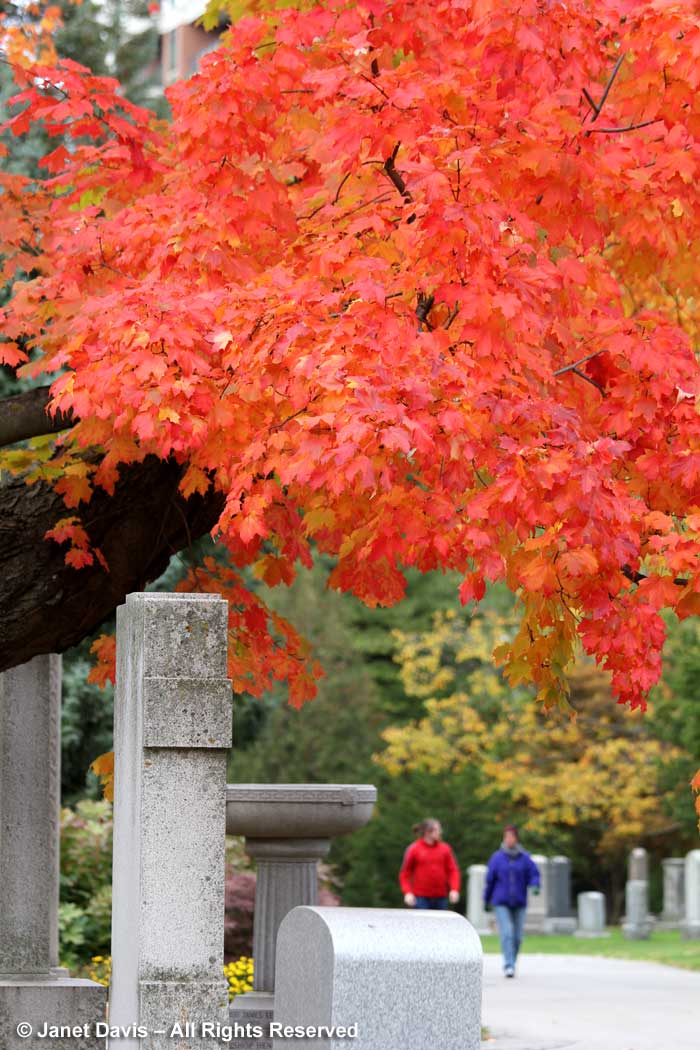 sugar-maple-mount-pleasant-cemetery