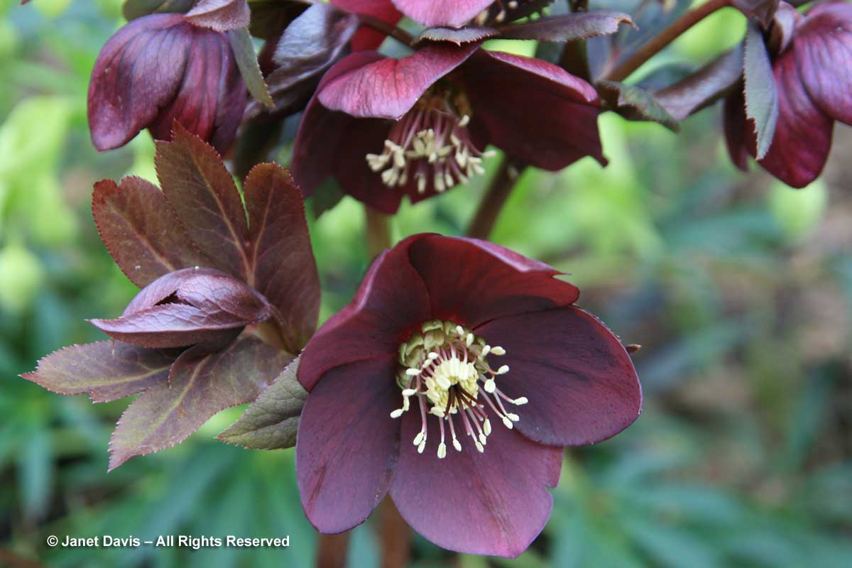 01-helleborus-blue-lady-wine-flowers