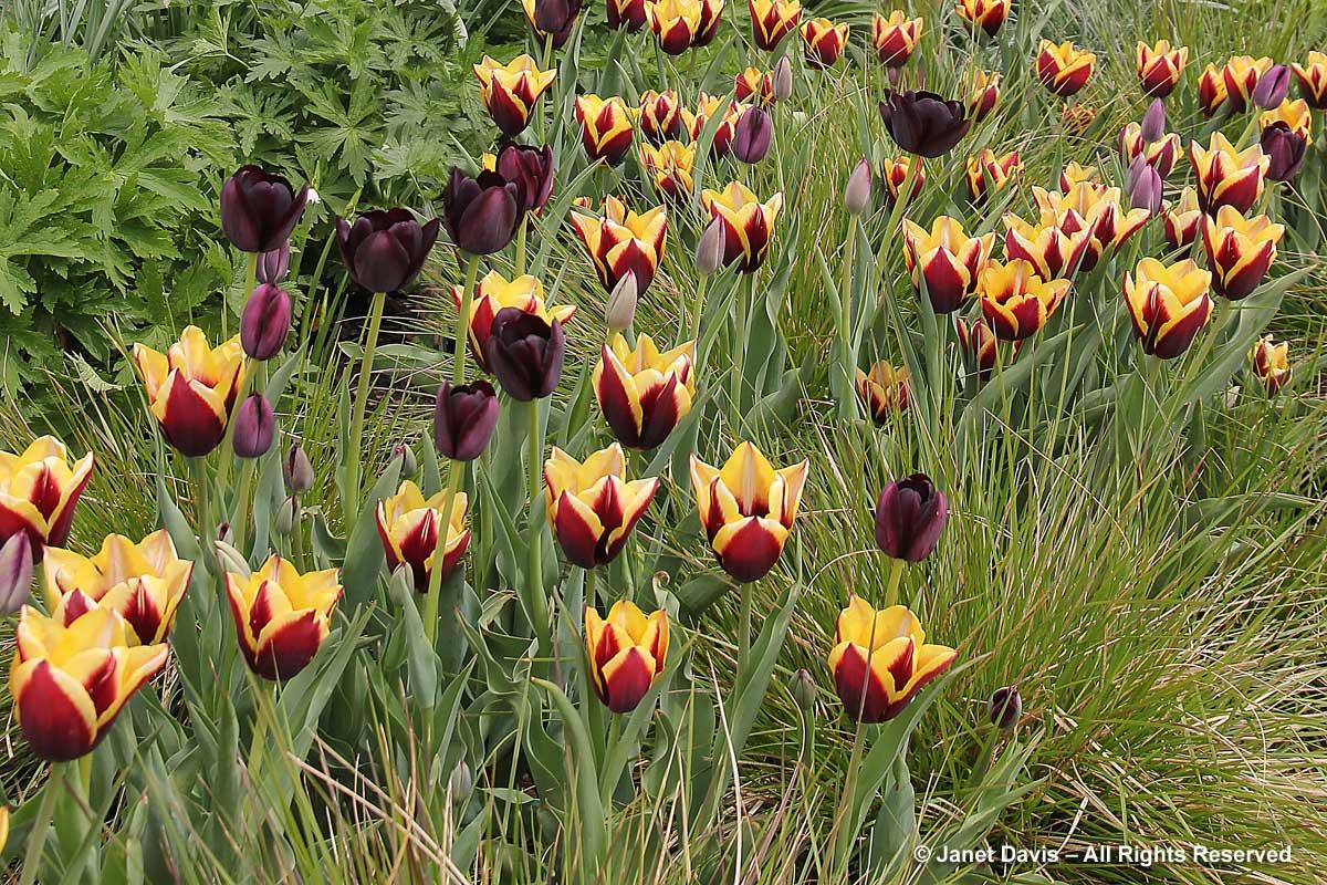 04-tulipa-cayenne-queen-of-night