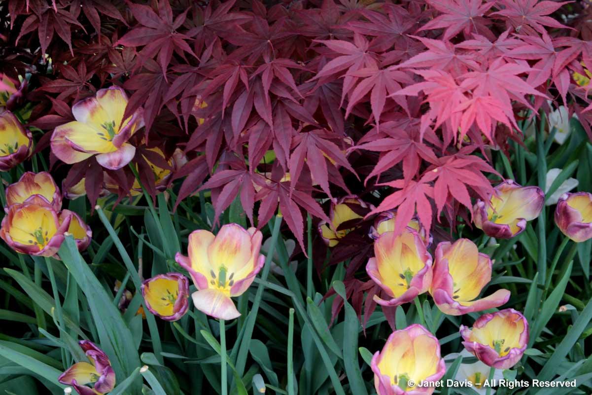 07-acer-palmatum-bloodgood-tulipa-boston