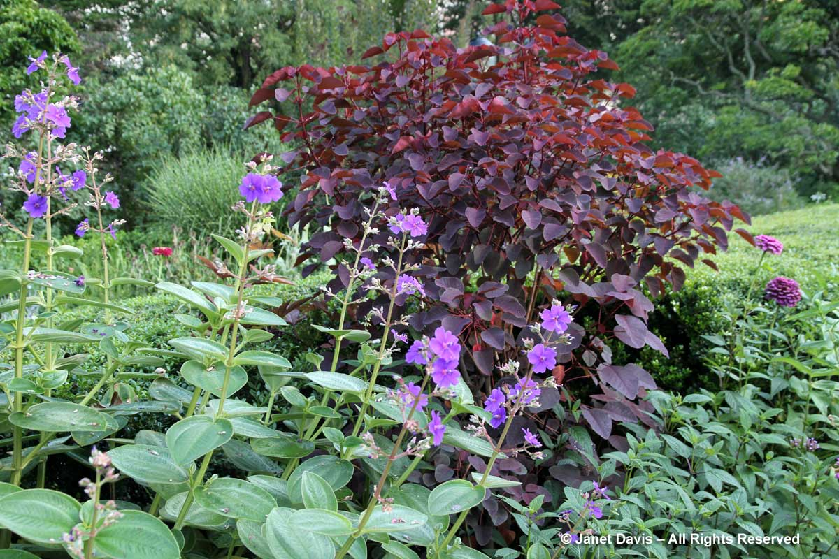 10-cotinus-tibouchina-urvilleana-conservatory-garden-ny