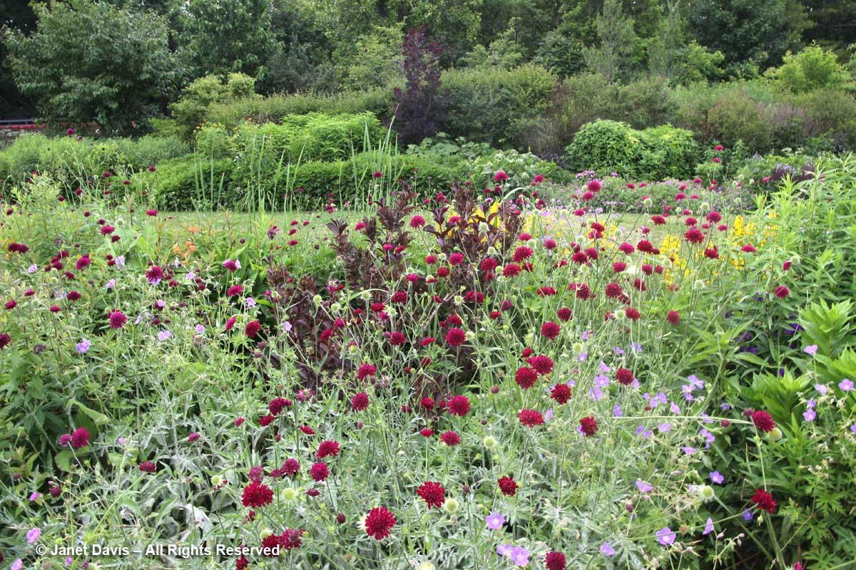 21-knautia-macedonica-toronto-botanical-garden