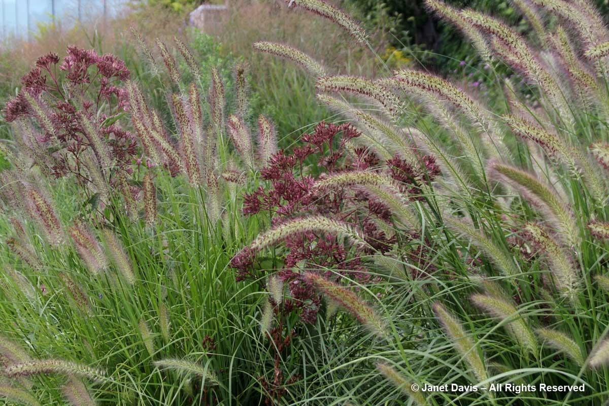 27-eutrochium-purpureum-ssp-maculatum-pennisetum-alopecuroides