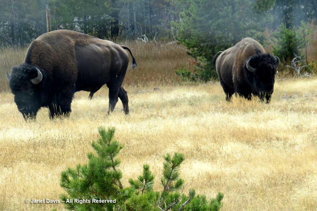 30-bison-yellowstone-park