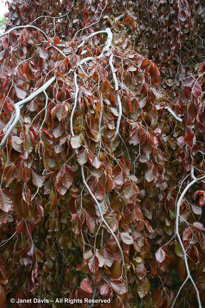 30-fagus-sylvatica-purpurea-weeping-copper-beech