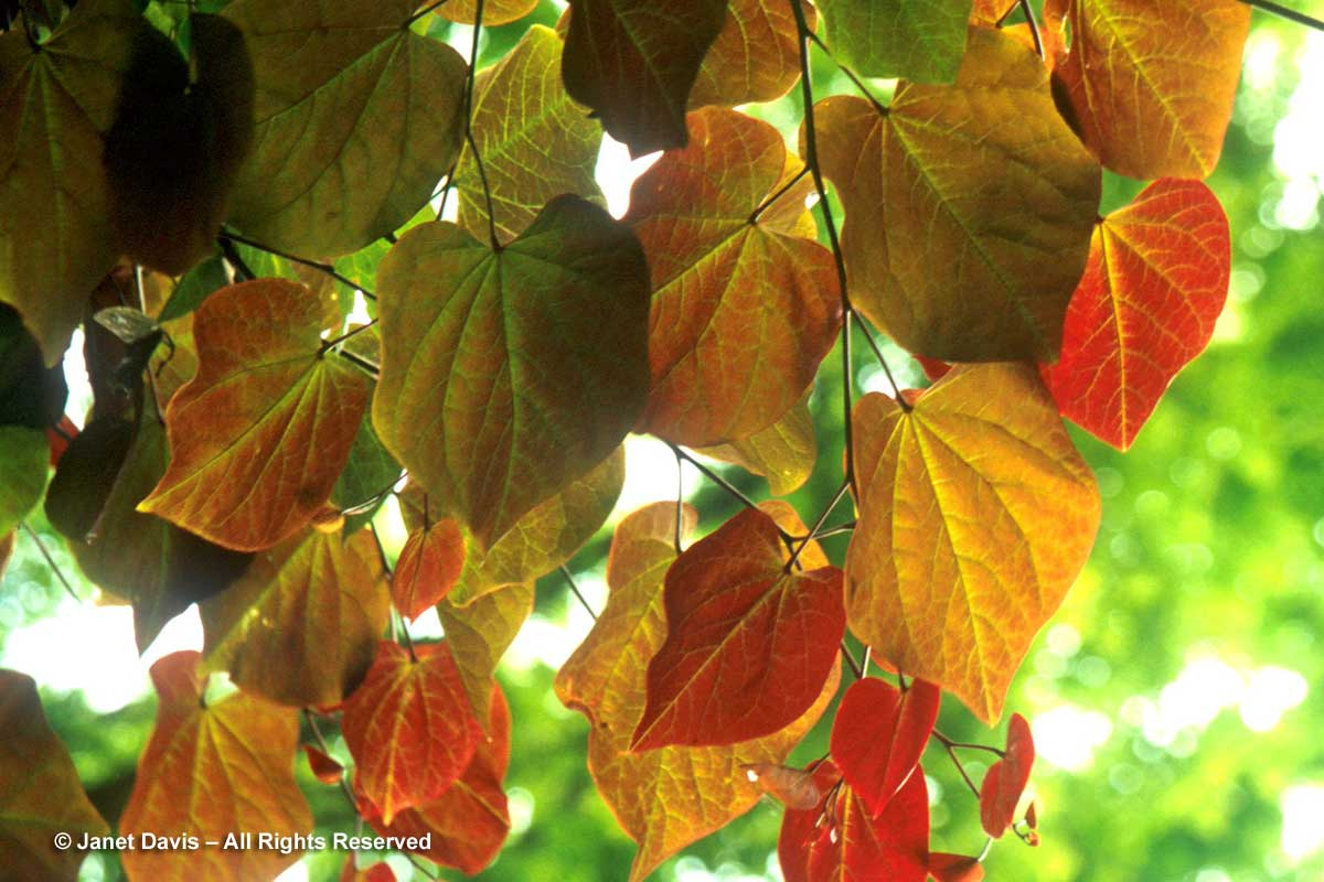 31-cercis-canadensis-forest-p