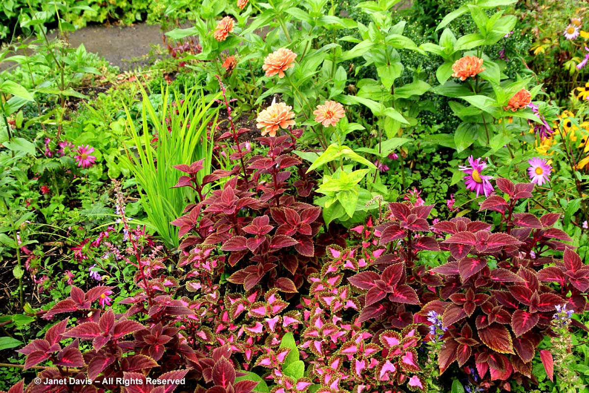 32-plectranthus-wizard-velvet-red-china-asters