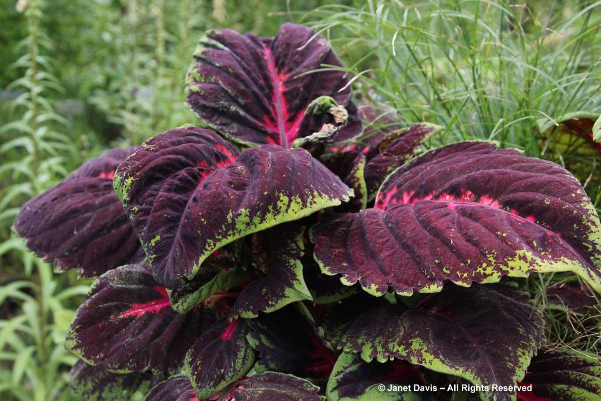 33-plectranthus-scutellarioides-kong-red