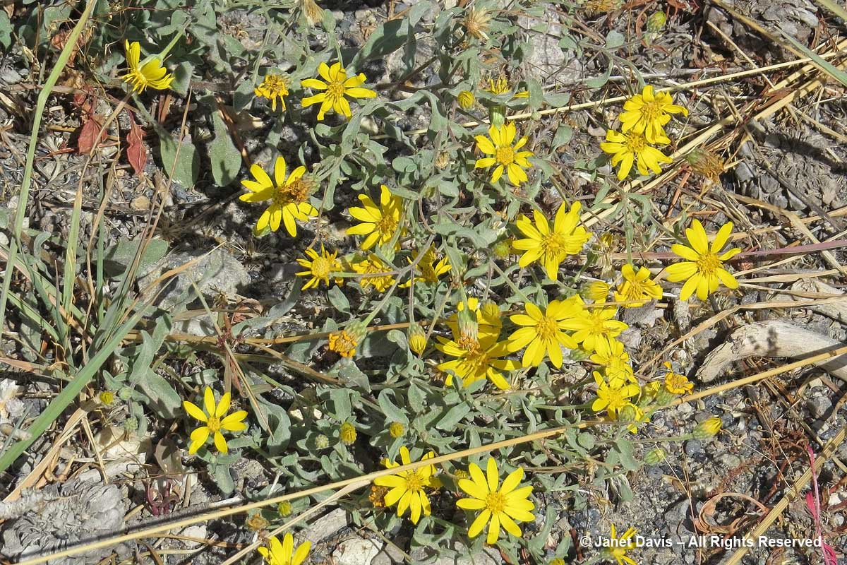 37-eriophyllum-lanatum-wooly-sunflower-yellowstone