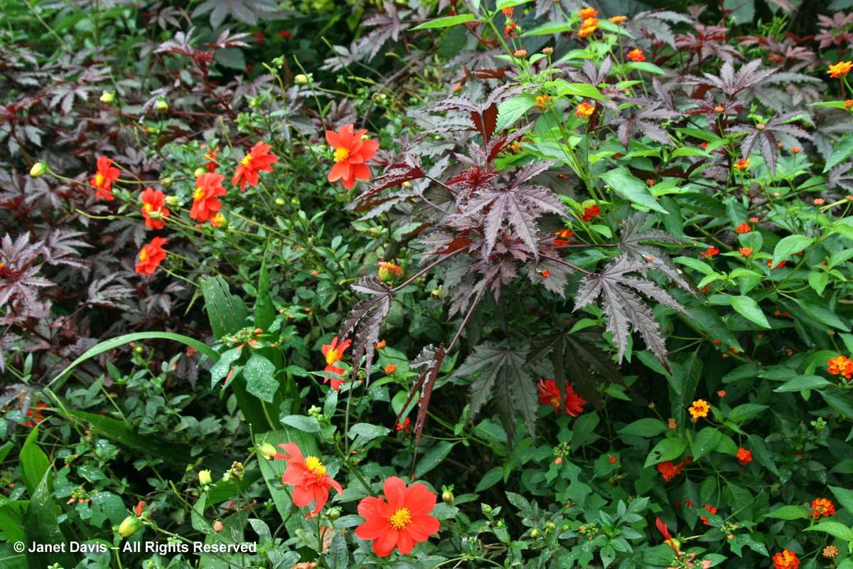 40-hibiscus-acetosella-dahlia-montrose