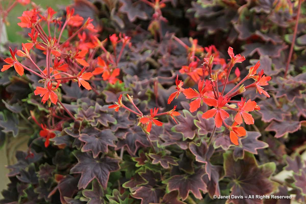 43-pelargonium-vancouver-centennial