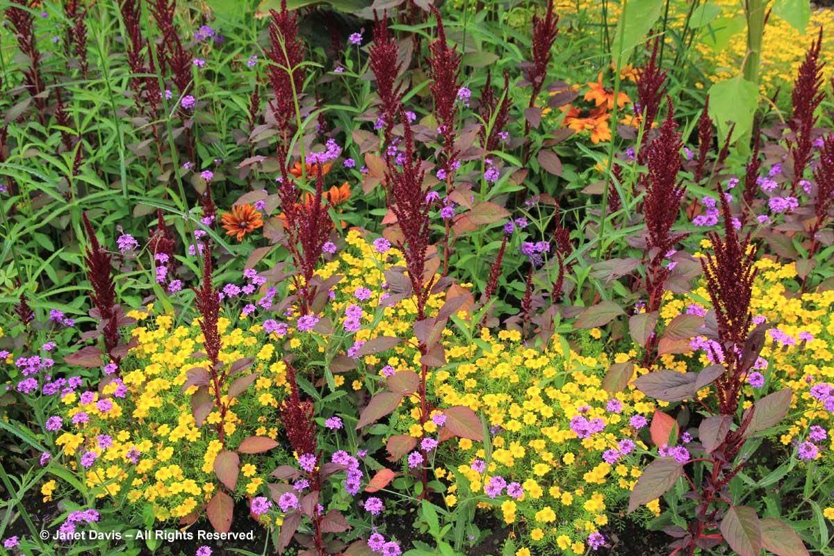 45-amaranthus-cruentus-tagetes-verbena-rigida-van-dusen