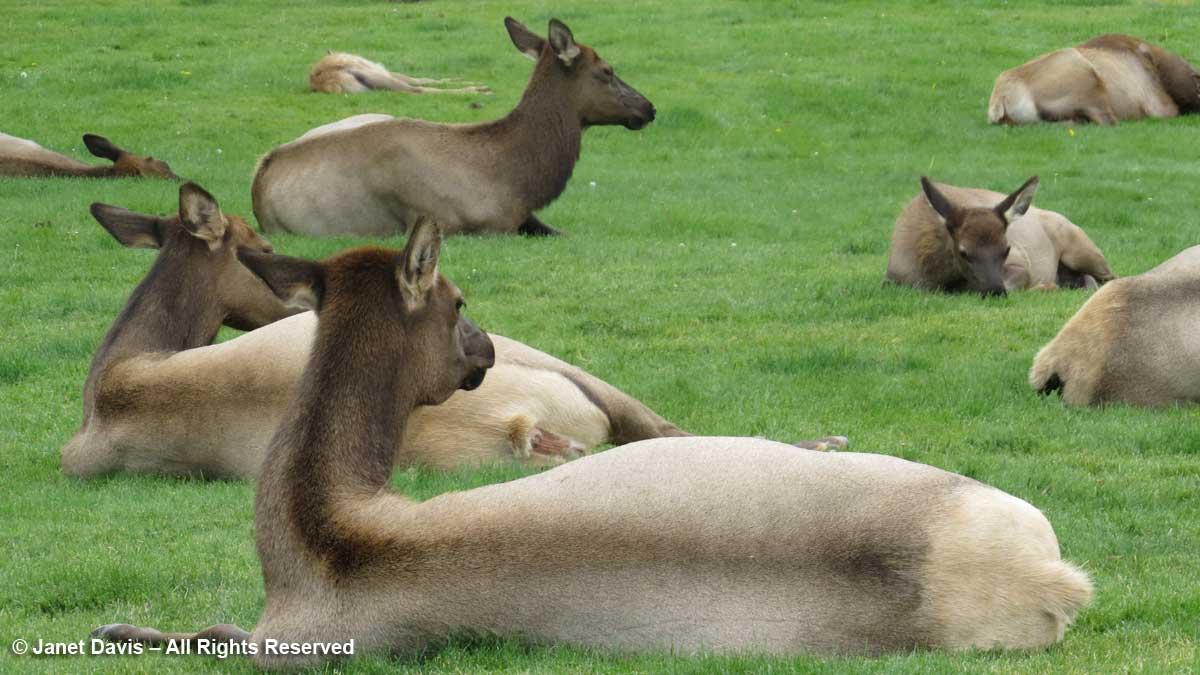 52-elk-cows-mammoth-hot-springs