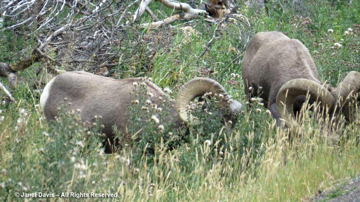55-sheep
