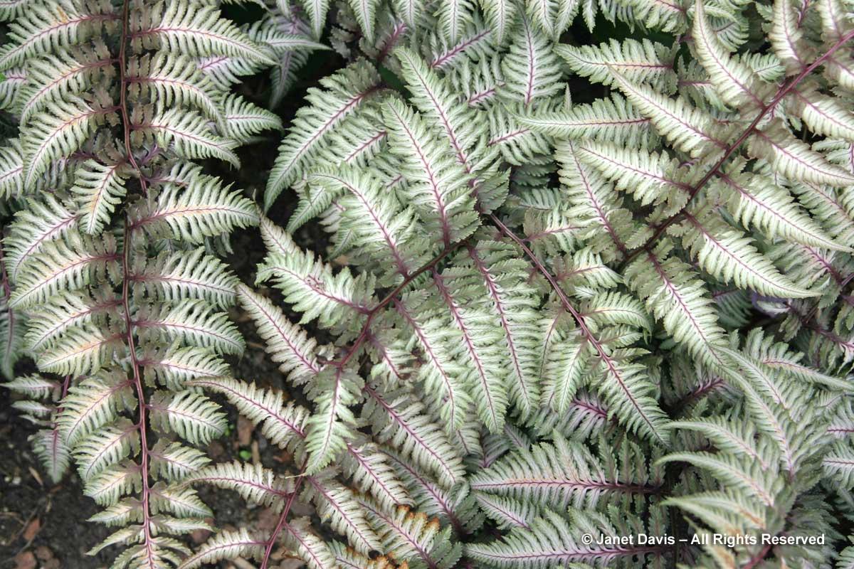 athyrium-niponicum-pewter-lace